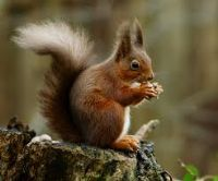 View Red Squirrel's Homepage